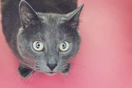 interst: grey sitting on the pink background looking at camera