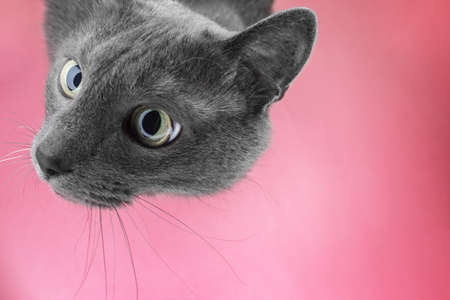 interst: grey cat sitting on the pink background looking at camera Stock Photo