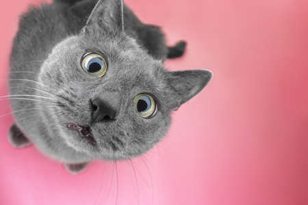 grey cat sitting on the pink background looking at camera Stockfoto
