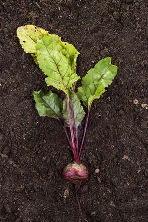 red beet on the soil background with copy space