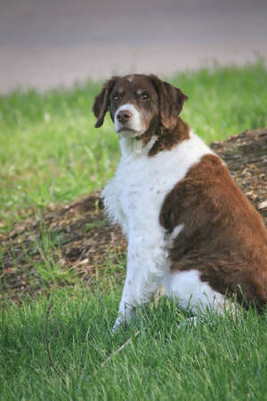 A Brittany sits in wait for her master s next command