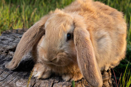 A French Lop rabbit sits on the green grass. Small, fluffy, brown home bunny with big ears.