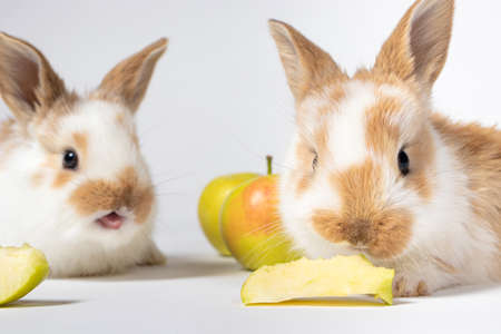 Two little rabbits are eating apples on a white background. Pet rabbit food