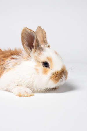 A small red fluffy rabbit on a white background is a vertical photo. Pets for a veterinary clinic or animal goods store 版權商用圖片