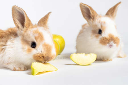 Two little red fluffy rabbits are eating yellow apples on a white background. Pet rabbit food, photo with copy space for pet shop and veterinary clinic. Reklamní fotografie