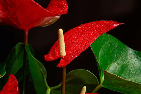 The red heart-shaped anthurium flower is the flamingo flower, Anthurium andreanum, a symbol of male happiness and well-being in the home. Macro close-up of a plant with dew drops. Stock Photo
