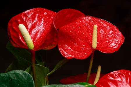 The red heart-shaped anthurium flower is the flamingo flower, Anthurium andreanum, a symbol of male happiness and well-being in the home. Macro close-up of a plant with dew drops.