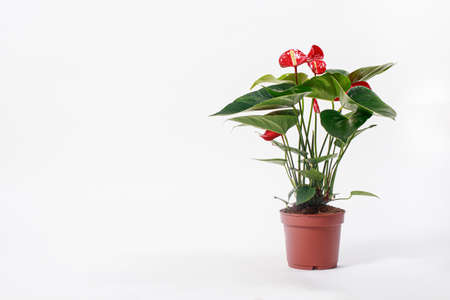 Red Anthurium flower in a pot on a white background isolate. Copy space for text banner, houseplants for flower shop.