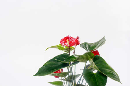 Red Anthurium flower on a white background isolate. Copy space for text banner, houseplants for flower shop.