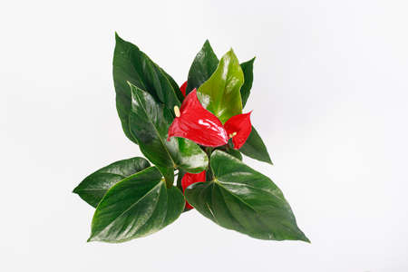 Red Anthurium flower on a white background top view isolate. Copy space for text banner, houseplants for flower shop. Stock Photo