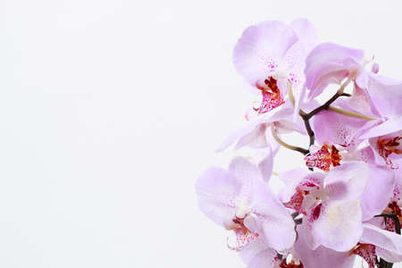 Pink orchid with a delicate lilac pattern on the petals - a macro photo of a flower close-up. Banner place for text, greeting card or calendar