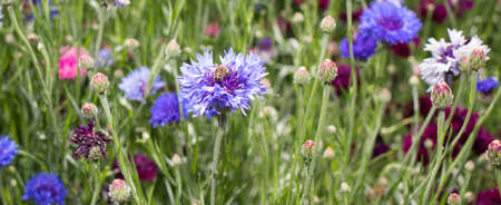 A honey bee collects nectar, pollen from a cornflower flower, long banner.