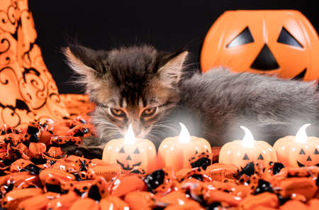 A sinister witch cat looks at the candles in the form of a pumpkin. Halloween and animal