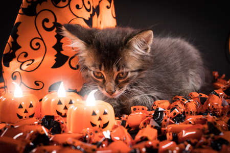 A witch cat looks at the candles in the form of a pumpkin. Halloween and animal, pets.