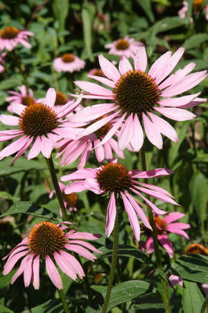 lance shaped: MARGUERITE Pink Flowers