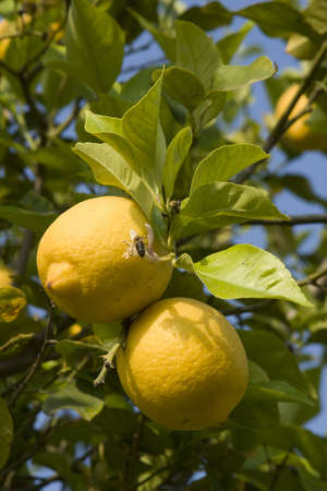 lemon tree: limones en un �rbol de lim�n.