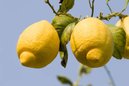 lemons on a Lemon tree. Stock Photo - 702079
