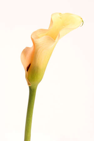 A Yellow Lily against a plain background