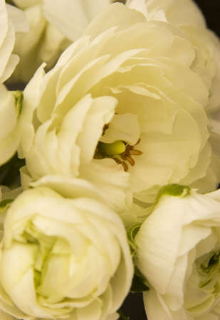 Multiple Peony flowers against a plain background