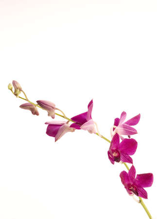 A pink orchid set against a plain background Stock Photo