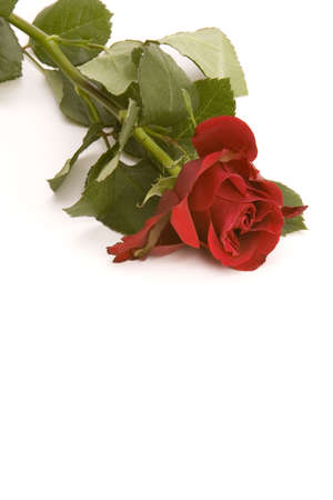 A red Rose against a plain background. Stock Photo - 715762