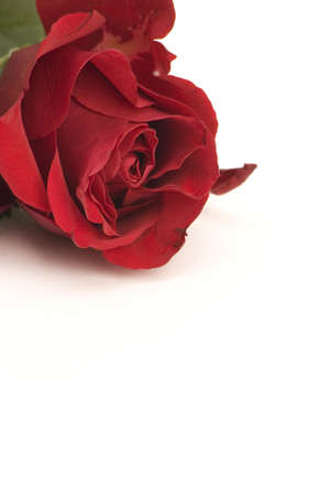 A red Rose against a plain background.