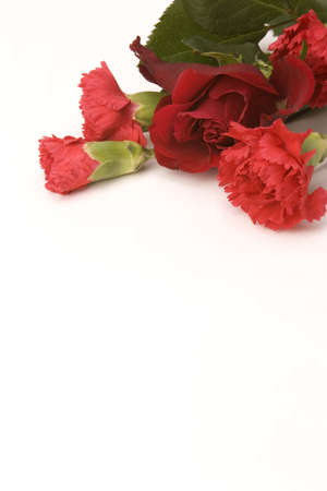 A red Rose and carnation against a plain background.