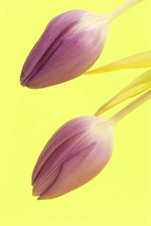 Close up of Tulips against a plain background Stock Photo - 716753