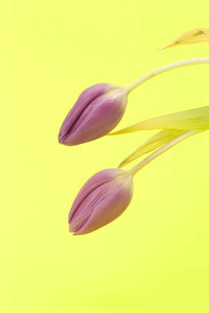 Close up of Tulips against a plain background Stock Photo - 716718