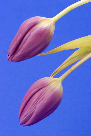 Close up of Tulips against a plain background Stock Photo - 716751