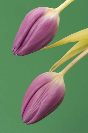 Close up of Tulips against a plain background Stock Photo - 716752
