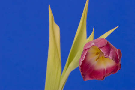 Close up of a single Tulip against a plain background Stock Photo - 716750