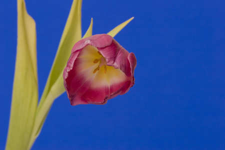 Close up of a single Tulip against a plain background Stock Photo - 716729