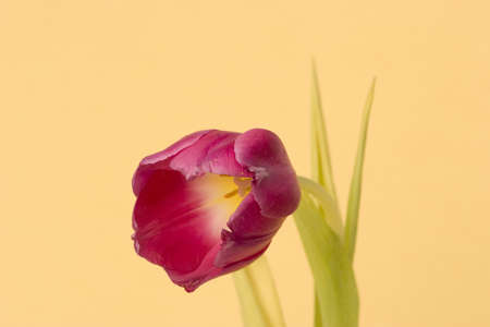 Close up of a single Tulip against a plain background Stock Photo - 716728