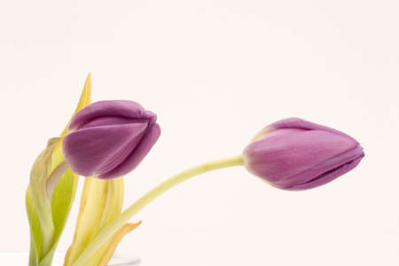Close up of a single Tulip against a plain background