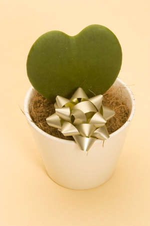 A Heart shaped Cactus in a pot against a Plain background photo