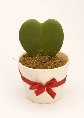 A Heart shaped Cactus in a pot against a Plain background Stock Photo