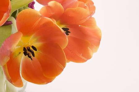 Orange Tulips set against a white background.