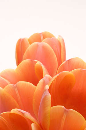 Orange Tulips set against a white background.
