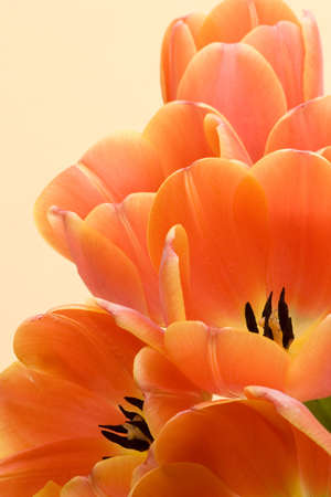 Orange Tulips set against a yellow background.
