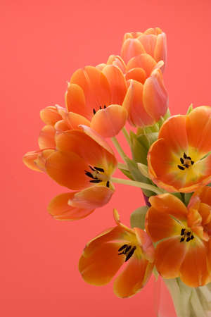 Orange Tulips set against a red background. Stock Photo