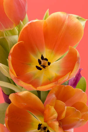 Orange Tulips set against a red background. Stock Photo - 750909