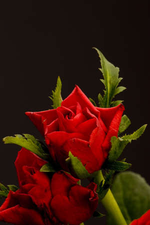 Red Roses against a plain background. Stock Photo - 774694