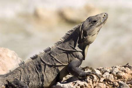 An Iguana walking over rocks in Isla mujeres, Mexico Stock Photo - 808520