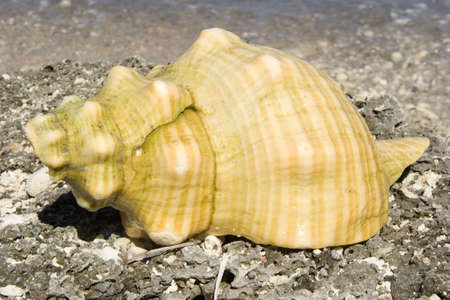 mujeres: A conch on the sand in Isla Mujeres, Mexico. Stock Photo