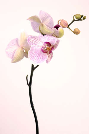 A pink orchid set against a plain background photo