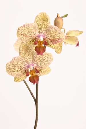 Yellow orchids set against a plain background