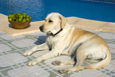 A Dog resting next to a swimming pool. Stock Photo - 936060
