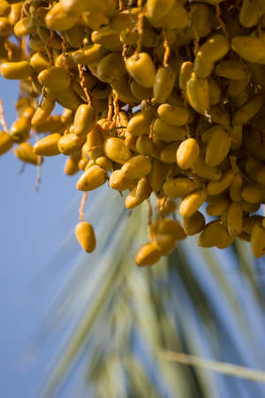 Multiple Dates on a date Palm tree Stock Photo
