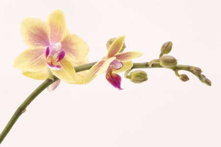 A yellow orchid set against a plain background